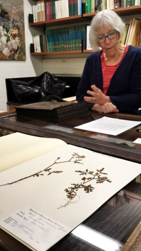 Sandra Mackin showcasing the oldest specimen in the Herbarium: a Hibiscus trionum, L. dating back to 1840!